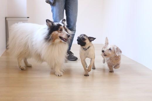犬の保育園 ばうびー しつけ トレーニング パグ ワイヤーヘアードミニチュアダックスフンド シェルティー 3頭 遊び