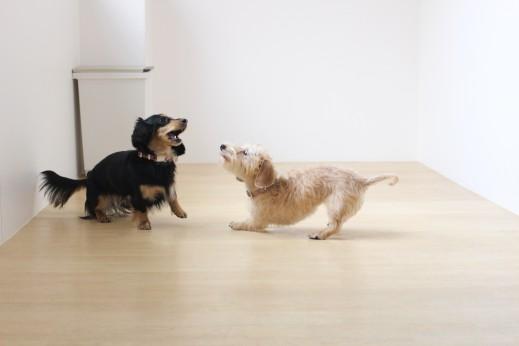 ワイヤーヘアードミニチュアダックスフンド 2頭で遊び 犬の保育園