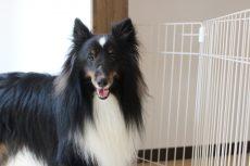 シェルティー 犬の保育園 体験入園 1回3000円 無料カウンセリング 犬のお悩み相談