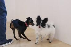 犬の保育園 ばうびー 犬のしつけ 犬のトレーニング 吉祥寺 犬のお友達 犬同士 遊び パピヨン ミニチュアピンシャー
