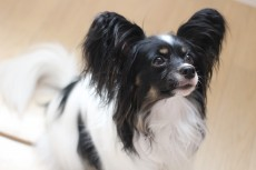 パピヨン 犬の保育園 室内レッスン まての練習