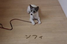 犬の保育園 おやつでお名前 ジャックラッセルテリアのソフィちゃん まて 上手